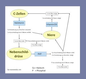 Kalzium-Haushalt wird auch durch Nieren beeinflusst