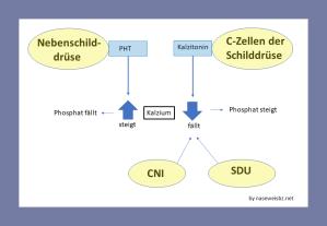 CNI und SDU wirken sich auf den Kalzium-Haushalt aus