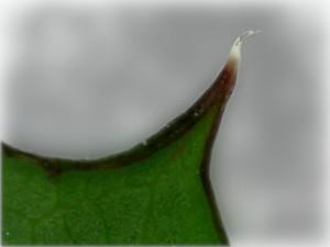 Stachel am Blatt einer Distel