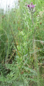 Distelpflanze