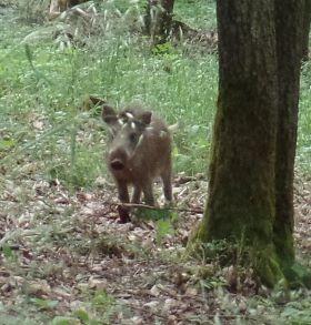 Wildschwein in freier Natur (Eifel, Mai 2019)