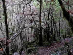 Buchsbaumzünslerschäden im natürlichen Unterholz eines Waldes (Frankreich, Rhônes-Alpes, 2017) - Unterholz kahl und mit Gespinsten