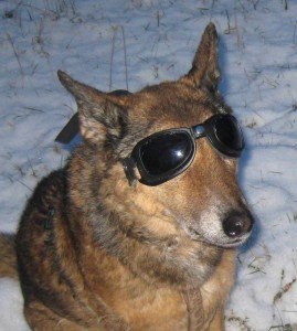 Hund mit Brille: Hundebrillen: selbst einfache Modelle schützen empfindliche Augen