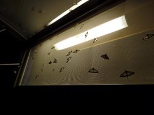 Buchsbaumzünsler werden auch durch Licht hinter Fenstern angelockt