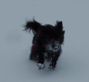 Hund mit vereisten Pfoten: Bei niedrigen Temperaturen bilden sich Eis- und Schneeklumpen an den Pfoten