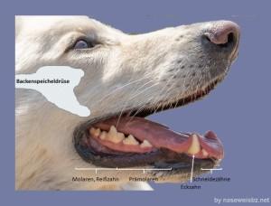 Hundekopf mit eingetragenen Bezeichnungen: Lage der Backenspeicheldrüse und Bezeichnung der Zähne