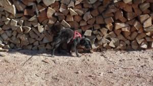 Hund der an Holz langstreift BdP mit akutem Streicheldefizit oder einfach nur bei der Fellpflege