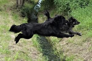 2 Hunde springen über einen Graben