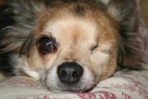 Chihuahua mit einem übergroßen Auge und einem verlorenen Auge
