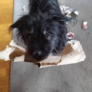 Hund hat Papier zerrissen
