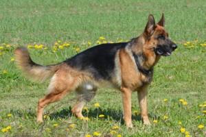 Deutscher Schäferhund mit abfallender Kuppe
