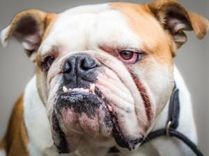 Bulldogge: Vorbiss, entzündete Augen, faltiges Gesicht, kurzschnäuzig