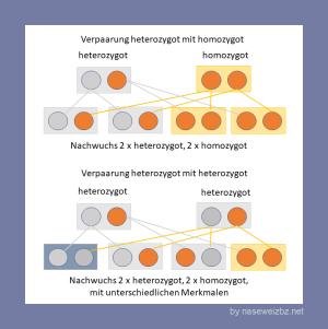 Grafik: Erbgang für Kreuzungen zwischen hetereozygoten und homozygoten Tieren