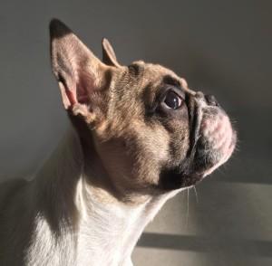 Französische Bulldogge: kurzschnäuzig