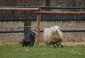 Hund beim Schafe hüten