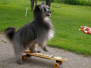 Hund auf Skatboard