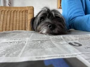 Hund mit Kopf auf Zeitung