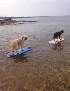 Hunde auf Surfbrettern
