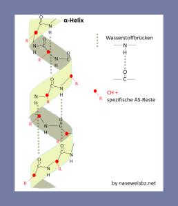 Grafische Darstellung: Alpha-Helix einer Aminosäure Kette: Die Helix wird durch Wasserstoffbrücken stabilisiert.