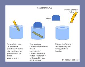 Grafische Darstellung: Chaperone ermöglichen die korrekte Faltung innerhalb eines geschützten Raums.