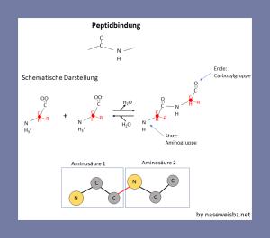 Grafische Darstellung: Darstellung der Peptidbindung zwischen zwei Aminosäuren.