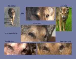 Fotomontage: verschiedene Stadien KCS innerhalb eines 3/4 Jahres.Entwicklung einer KCS im Zeitverlauf. Aufgrund einer Unverträglichkeit gegenüber Ciclosporin ist keine Eindämmung möglich und führte innerhalb kurzer Zeit zur Erblindung.