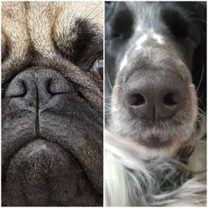 Nasenöffnung von einem Mops und einem Spaniel im Vergleich. Die verformte Nase des Mopses erschwert das Atmen.