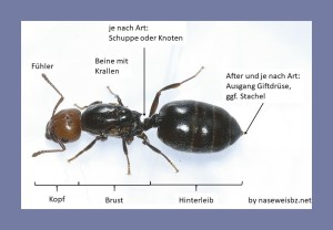 Beschriftetes Bild Ameisen besitzen einen 3-gliedrigen Körper mit 6 Beinen. Verschiedene Ameisenarten können u. a. durch feine Unterschiede im Körperbau bestimmt werden.