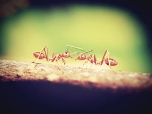 Zwei Ameisen begrüßen sich, indem sie sich mit den Fühlern betasten.