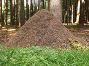 Waldameisennest - Ameisenhaufen