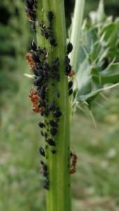 Ameisen an einer Blattlauskolonie