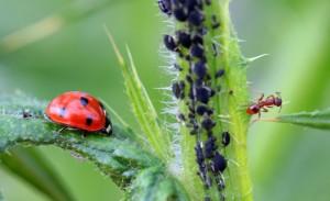 Ameise und Marienkäfer an einer Blattlauskolonie