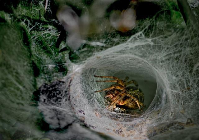 Trichternetz mit Spinne